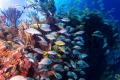 u/w shallow life, caribbean reef, Playa del Carmen