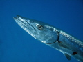 Great Barracuda, Congo Cay, U.S. Virgin Islands