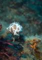 Discodoris Atromaculata