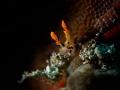 Skulker  Nudibranch - Dendronotus regius  Bali, Indonisia