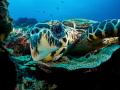 Nosey Parker  Hawksbill Turtle - Eretmochelys imbricata  Bali, Indonisia