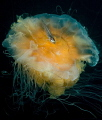 Lions mane jellyfish with whitting