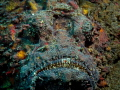 Bring it ... !  Reef Stonefish  - Synanceia verrucosa  Bali, Indonisia