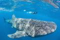 Whale Shark & Armando, Isla Contoy México