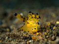 Nudibranch - Thecacera pacifica  Bali, Indonisia