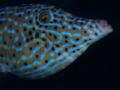 Scrawled Filefish, Aluterus scriptus, Blue Heron Bridge, Florida