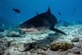 Shot by Nikon Z7 + 14-30mm, with Nauticam housing. Location is Fuvahmulah island Maldives. Tiger shark close.