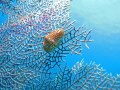 Flamingo Tongue Snail  Cyphoma gibbosum on Purple Sea Fan  Gorgonia ventalina