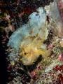 Governor  Leaf Scorpionfish   Taenianotus triacanthus  Bali  Indonesia