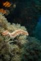 mediterranean fireworm