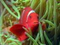 Spinecheek Anemonefish, Premnas biaculeatus, Wakatobi Marine Preserve