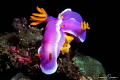 Hypselodoris Apolegma Mating and Laying Eggs That Are Being Eaten/Photographed with a Canon 60 mm macro lens at Anilao, Philippines
