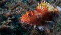 Stonefisch, Azores, Faial
