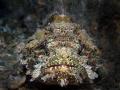 Spotted Scorpionfish, Scorpaena plumieri, Blue Heron Bridge, Florida