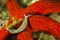 Nudi Thuridilla hopei on a red sea star