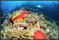 Red Sea coral reef with red actinia.