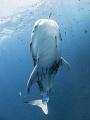 Way to Blue  Whale Shark - Rhincodon typus  Sail Rock, Thailand