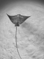 Eagle ray hunting over sandy bottom
