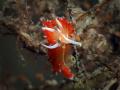 Coryphella verta Nudibranch, Blue Heron Bridge, Florida