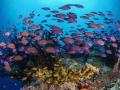 Juvenile Bristletooth surgeonfish were swarming Maldivian reefs in the last weeks.