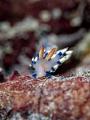 Gently Tender  Nudibranch - Flabellina exoptata  Bali, Indonesia
