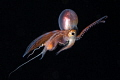 Male blanket octopus.