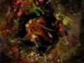 Dark Mantis Shrimp, Neogonodactylus curacaoensis, Congo Cay, U.S. Virgin Islands