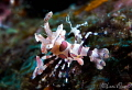 Harlequin shrimp/Photographed with a Canon 60 mm macro lens at Anilao  Philippines