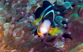 Clark s Anemonefish/Photographed with a Canon 100 mm macro lens at Alor  Indonesia