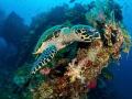 nom nom nom ... !  Hawksbill Turtle - Eretmochelys imbricata  Liberty Wreck, Bali, Indonesia