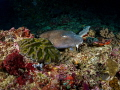 Sneak Peek  Brownbanded Bbamboo Shark  Chiloscyllium punctatum  Manta Point  Bali  Indonesia