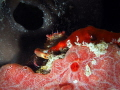 Red Ridged Clinging Crab  Mithraculus forceps  Mingo Cay  U.S. Virgin Islands