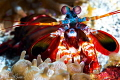 Peacock Mantis Shrimp/Photographed with a 60 mm macro lens at Alor  Indonesia