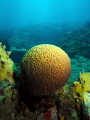 A rare, perfect brain coral, Straggler's Rocks, St.Thomas, U.S. Virgin Islands