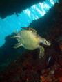 Juvenile Hawksbill Sea Turtle, Eretmochelys imbricata, Fredericksted Pier, St. Croix, U.S. Virgin Islands