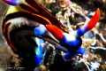 Nembrotha sp. undescribed/Photographed with a Canon 60 mm macro lens at Alor, Indonesia