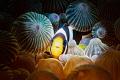 Juvenile Anemonefish