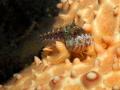 Seaweed Blenny on Cushion Sea Star, Blue Heron Bridge, Florida
