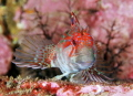 Red or Portuguese Blenny (Parablennius ruber) - Picture taken in Kenmare Bay Ireland