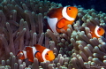 False clown anemonefish/Photographed with a Canon 60 mm macro lens at Anilao, Philippines