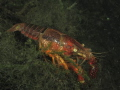 Awesome clear water lobster