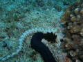 Snowflake Moray Eel- Echidna nebulosa