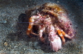 Hermit Crab/Photographed with a 60 mm macro lens at Anilao, Philippines