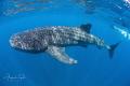 Whaleshark and diver, Isla Contoy Mexico