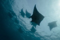 Manta rays, passing in surface.