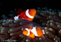 False Clown Anemonefish/Photographed with a Canon 60 mm macro lens at Anilao  Philippines.