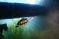 Sun Rays  turtle swimming by in a freshwater hole.