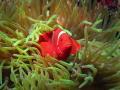 Spinecheek Anemonefish  Premnas biaculeatus  Wakatobi Marine Preserve  Indonesia