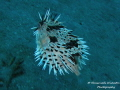 Freckled Porcupinefish have fight before
