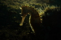 Title   Appearane of thorny seahorse This is backlight photo of thorny seahorse.